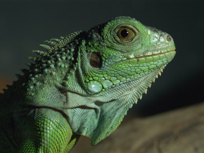 Serpentarium Green or Common Iguana, Skye, Scotland, United Kingdom, Europe Photographic Print by Murray Louise