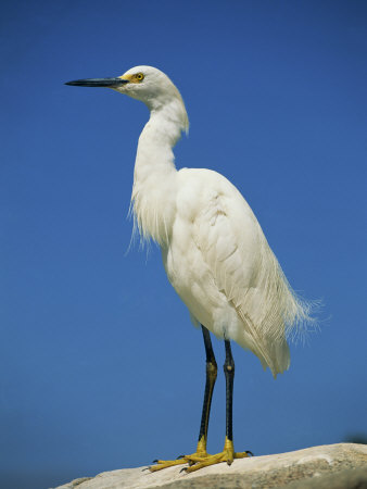 Snowy Egret, California, United States of America, North America Photographic Print by Tomlinson Ruth