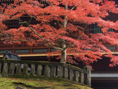 Japanese Maple, Tosho-Gu Shrine, Nikko, Central Honshu, Japan Photographic Print by Schlenker Jochen