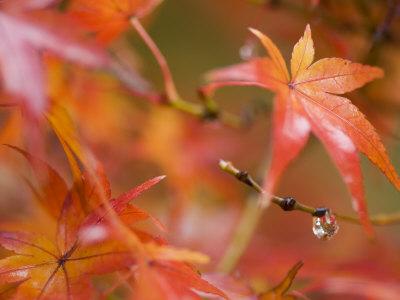 Maple Leaves, Kyoto, Kansai, Honshu, Japan Photographic Print by Schlenker Jochen