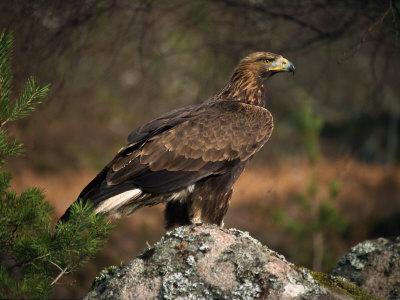 Portrait of a Golden Eagle, Highlands, Scotland, United Kingdom, Europe Photographic Print by Rainford Roy