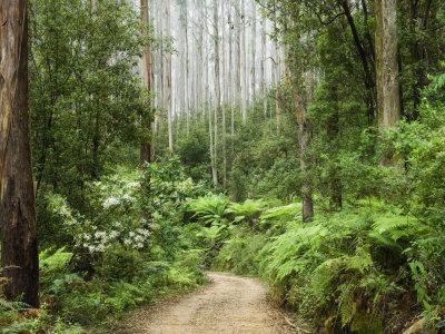 Road Through Rainforest, Yarra Ranges National Park, Victoria, Australia, Pacific Photographic Print by Schlenker Jochen