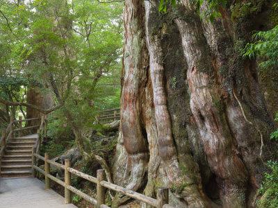 Kigensugi Giant Sugi Cedar Tree, Estimated to Be 3000 Years Old, Yaku-Shima, Kyushu, Japan Photographic Print by Schlenker Jochen