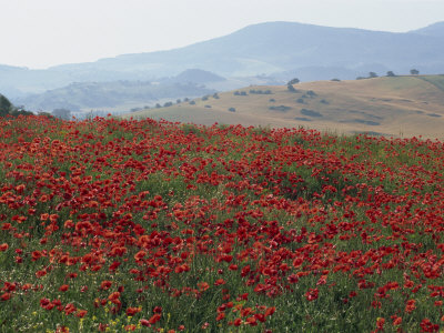 Poppies in Rolling Landscape, Near Olvera, Cadiz, Andalucia, Spain, Europe Photographic Print by Tomlinson Ruth