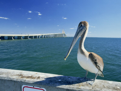Brown Pelican in Front of the Sunshine Skyway Bridge at Tampa Bay, Florida, USA Photographic Print by Tomlinson Ruth