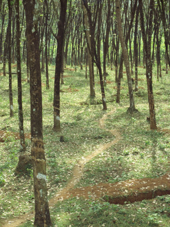 Rubber Trees, Karnataka State, India Photographic Print