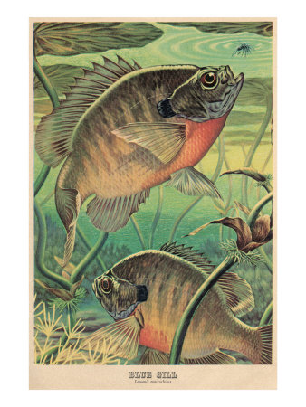 Blue Gill Eying Bug Poster