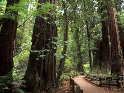 Old Redwood Trees, Muir Woods, San Francisco, California, USA Photographic Print by Bill Bachmann