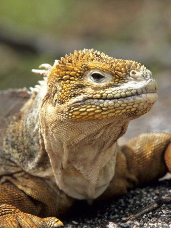 Land Iguana, Isla Isabela, Galapagos Islands, Ecuador Photographic Print by Michael DeFreitas
