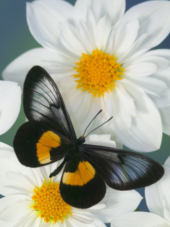 Miyana Meyeri Butterfly on Flowers Photographic Print by Darrell Gulin