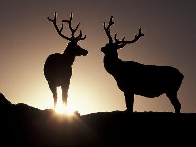 Elk, Rocky Mountains National Park, Colorado, USA Photographic Print by Gavriel Jecan