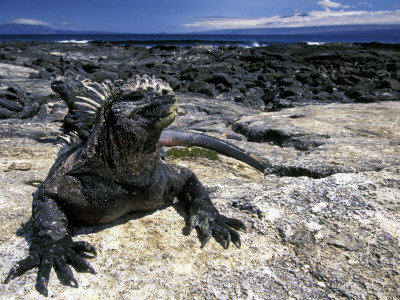 Marine Iguana, Galapagos Islands, Ecuador Photographic Print by Gavriel Jecan
