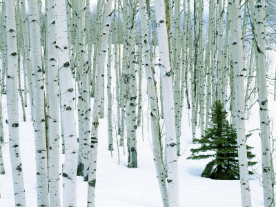 Fir in Aspen grove, Dixie National Forest, Utah, USA Photographic Print by Charles Gurche