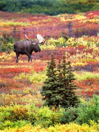 Bull Moose and Autumn Tundra, Denali National Park, Alaska, USA Photographic Print by David W. Kelley