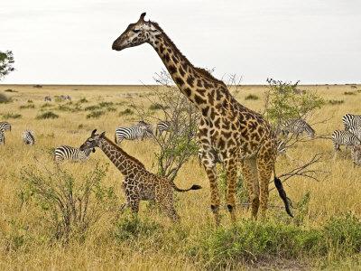 Maasai Giraffes Roaming, Maasai Mara, Kenya Photographic Print by Joe Restuccia III