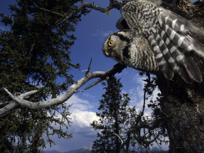 Hawk Owl Flies from its Nest in a Cavity in a White Spruce, Alaska Photographic Print by Michael S. Quinton