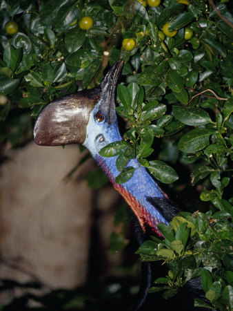 Endangered Cassowary Cranes its Long Colorful Neck to Reach Fruit Photographic Print by Jason Edwards