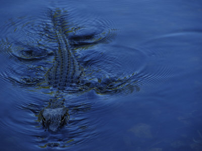 Alligator Swimming Photographic Print by Raul Touzon