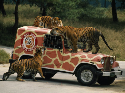 Tigers around and Atop a Jeep at a Zoological Park Near Seoul Photographic Print by Paul Chesley