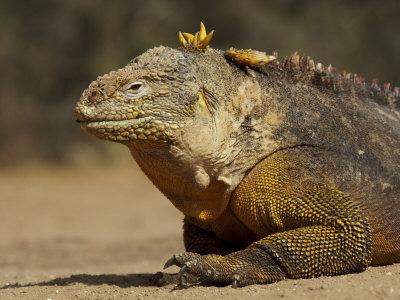 Portrait of a Galapagos Land Iguana, Conolophus Subcristatus Photographic Print by Tim Laman