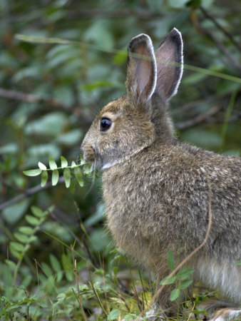 Snowshoe Hare Nibbles on Wild Sweet Pea Photographic Print