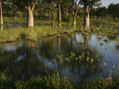 Boab Trees Reflected in Water at Kakadu National Park Photographic Print by Randy Olson