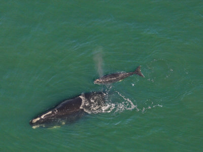 Female North Atlantic Right Whale and Her New Calf Fotoprint