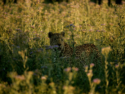 Leopar, Panthera Pardus, Among Tall Wildflowers Photographic Print by Beverly Joubert