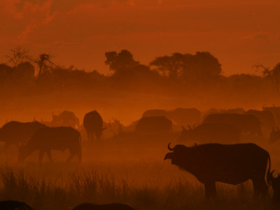 Herd of African Buffalo, Syncerus Caffer, in Mist at Twilight Photographic Print by Beverly Joubert