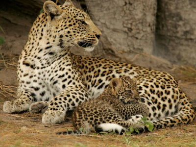 Leopard, Panthera Pardus, Resting with Her Cub Photographic Print by Beverly Joubert