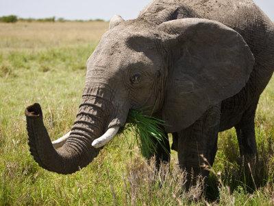 Elephant Eating Food Elephants Eat 16 Hours of The