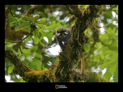 Male Red Eared Guenon Monkey in the Rain Forest Photographic Print by Tim Laman