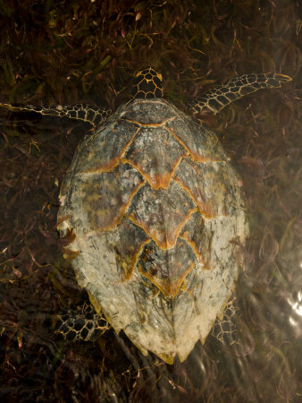 Hawksbill Turtle Swimming Shallow Water Photographic Print by Beverly Joubert
