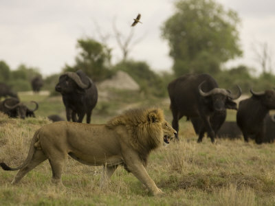 Lion Walking Past a Herd of African Buffalo Photographic Print by Beverly Joubert