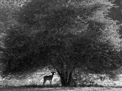 Impala in the Shade of a Large Acacia Tree Photographic Print by Beverly Joubert