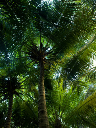 Palm Trees Make a Canopy of Green Overhead with their Fronds Photographic Print by Beverly Joubert