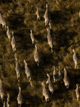 Aerial of a Herd of Burchell's Zebras Walking Through Grasslands Photographic Print by Beverly Joubert