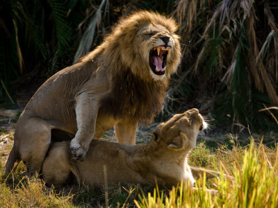 African Lions, Panthera Leo, Mating Photographic Print by Beverly Joubert