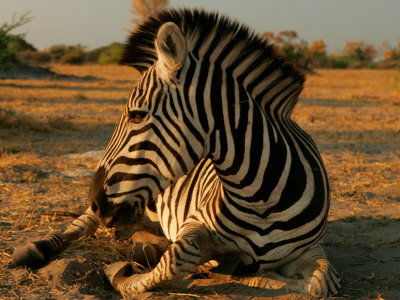Zebra Laying on the Ground Photographic Print by Beverly Joubert