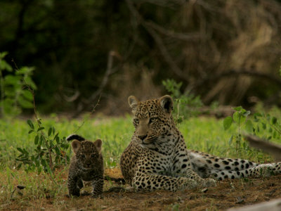 Leopard (Panthera Pardus) Mother and Cub Photographic Print by Beverly Joubert