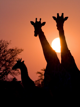 Two Adult Giraffes and a Baby Silhouetted by an Orange Sunset Fotografisk tryk af Karine Aigner