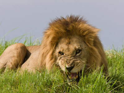 Snarling African Lion Lying in the Grass Photographic Print by Beverly Joubert