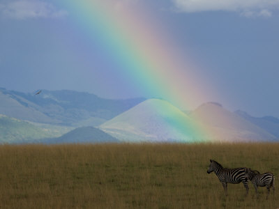 Two Zebras on a Kenyan Grassland with a Rainbow Overhead Photographic Print by Beverly Joubert