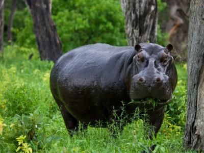 Portrait of a Wet Hippopotamus Chewing Vegetation Photographic Print by Beverly Joubert