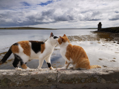Two Cats Greet on a Wall Overlooking the Bay in Shapinsay Fotoprint av Jim Richardson