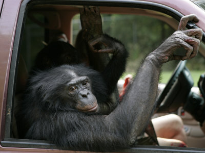 Bonobo Inside a Truck at a Language Research Center Photographic Print by Randy Olson
