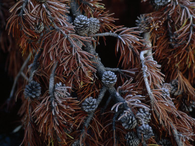 Frost Covers the Branches of a Pine Tree Photographic Print by Annie Griffiths Belt