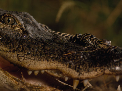 Newborn American Alligator on Top of its Mother's Nose Photographic Print by Chris Johns