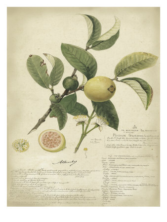 Reproduction planches botaniques