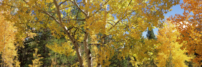 Aspen Trees in Autumn, Colorado, USA Photographic Print by  Panoramic Images